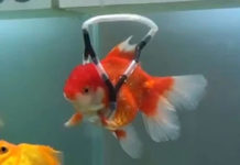 disabled goldfish gets his own wheelchair feat